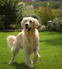 golden-dog-training-Copy